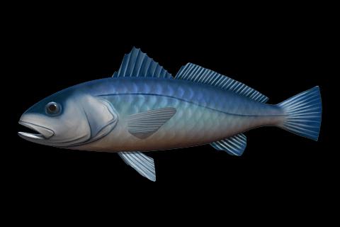 Adlerfisch